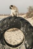 Mops på gummihjulet Fotografering för Bildbyråer
