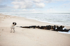 Mops på stranden Royaltyfria Foton