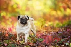 Free Mops Portrait In Fall Leaves Stock Images - 198738594
