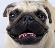 Mops-pug smiling face Stock Photo