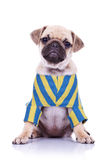 Mops puppy with tilted head Royalty Free Stock Image