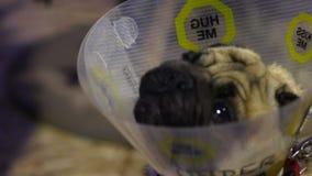 Mops som bär undersökning och behandling för älsklings- kotte väntande på på den veterinär- kliniken arkivfilmer
