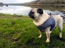 Mops stod bredvid en sikt för flodlandskapsida Arkivfoton