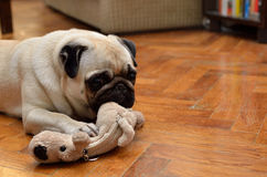 Mops with toy Stock Photos