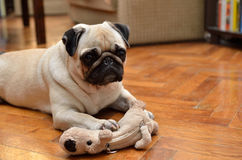 Mops with toy. Mops with a toy good one Royalty Free Stock Photography