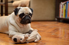 Mops with toy. Mops with a toy at home nice Royalty Free Stock Photos