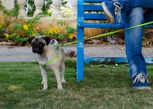 Mops w ogrodowej pozyci Obok ławki Fotografia Stock