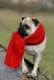 mopsa czerwieni szalik Zdjęcie Royalty Free