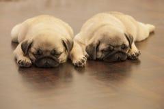 Mopsa śliczny psi szczeniak Fotografia Royalty Free