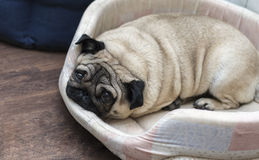 Mopsa pies śpi na jego beżowym dywaniku Fotografia Royalty Free