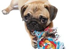 Mopsa pies z zabawką Obrazy Royalty Free