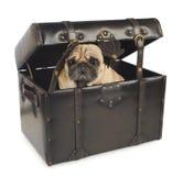 Mopsa psi chować w rocznik klatce piersiowej Zdjęcie Royalty Free