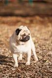 Mopsa psi śliczny obraz royalty free