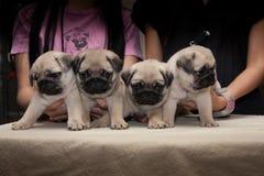 Mopsa psi śliczny fotografia royalty free