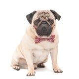 Mopsa psi obsiadanie na nim jest ubranym czerwonego wzorzystego motyla odizolowywającego na białym tle Obrazy Stock