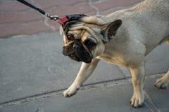 Mopsa szczeniaka ciuci śliczny pies w parku obrazy stock