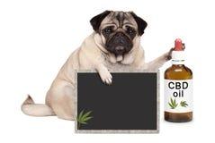 mopsa szczeniaka psa siedzący puszek z butelką CBD olej i blackboard podpisujemy, odizolowywaliśmy na białym tle, Fotografia Royalty Free