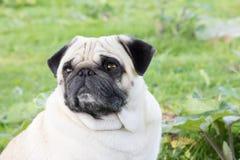 Mopsa zwierzęcego parka trakenu psi plenerowy zwierzę domowe fotografia royalty free
