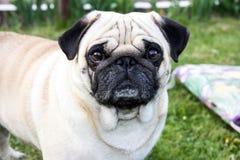 Mopsa zwierzęcego parka psi plenerowy traken Obraz Royalty Free