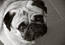 Mopshund i svartvitt Arkivbild