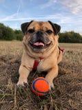 Mopshund med bollen som lägger på en gräsäng Arkivbild