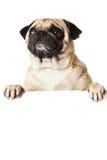 Mopshund med bunner som isoleras på vit bakgrund Royaltyfria Bilder
