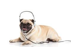 Mopshund med headphonen som isoleras på vit bakgrundscallcenter Royaltyfri Bild