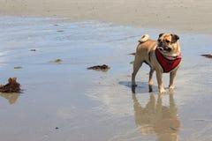 Mopshund på en strand Royaltyfri Fotografi