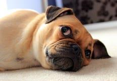 Mopshund som inomhus vilar Arkivbild