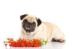Mopshund som isoleras på vita bakgrundsbarries arkivfoto