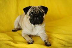 Mopshund som ligger på gul bakgrund Fotografering för Bildbyråer