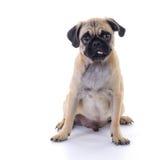 Mopshund som sitter över vit Arkivbilder
