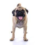 Mopshund som står över vit Arkivfoton