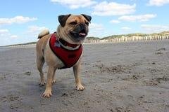 Mopshund som stås på en strand royaltyfria foton