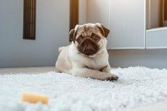 Mopshund som väntar på en tillåtelse att äta ost på kök Hungrig självkontroll för utbildning för mopshundvalp arkivfoton