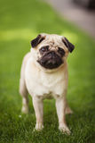 Mopshundcutie Arkivfoton