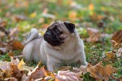 Mopshunden ligger på jordningen Royaltyfri Foto