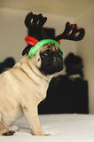 Mopssammanträde i juldräkt Arkivfoton