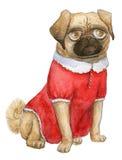 Mopsstående, golvmoppflicka, cutie - hund i en gullig röd klänning Arkivfoto