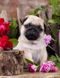 Mopsvalp- och blommarosor Fotografering för Bildbyråer