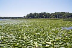 moquette del Acqua-giglio nel lago fotografia stock