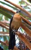 Moqueur (polyglottos de Mimus) Photo stock