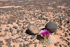 Moqui Marbles. (Iron Oxide Concretions) from Navajo Sandstone and Cactus flower, Grand Staircase-Escalante National Monument, UT Royalty Free Stock Photos