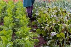 Morötter, beta, kålar, lökar och andra grönsaker i bonde`en s arbeta i trädgården royaltyfri bild