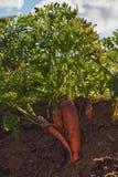 Morötter i jordningen. Royaltyfri Bild