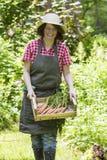 morötter som skördar kvinnan Royaltyfri Fotografi