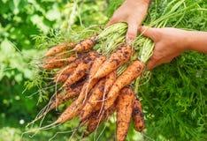 morötter som skördas nytt Fotografering för Bildbyråer