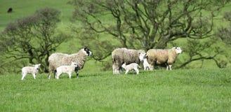 Mor och de nya lammen royaltyfria bilder