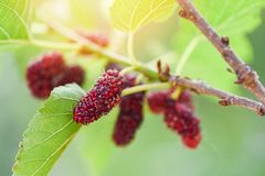 Mora fresca en la fruta madura de las moras rojas del ?rbol en rama y la hoja verde en el fondo del jard imagenes de archivo