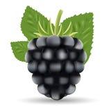 mora Frutta dolce Forest Black Berry Isolated On un fondo bianco Immagini Stock Libere da Diritti